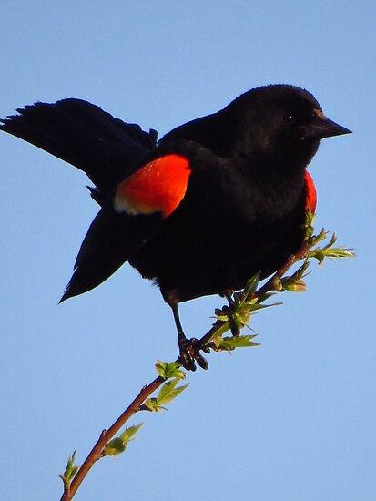 Red-winged Blackbird Under Blue Skies by lorilee