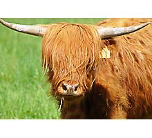The Highland Cattle.... Photographic Print