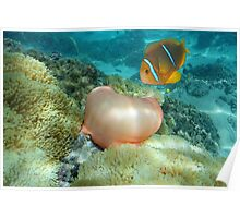 Sea anemone and anemonefish Pacific ocean Poster
