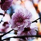 Pink -Cherry Blossom by Evita