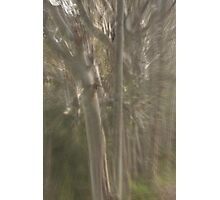 Spotted gum  Photographic Print