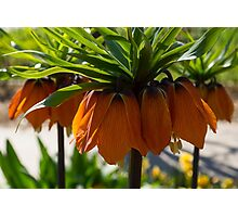 Crown Imperial Flowers Photographic Print