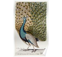 Johann Leonhard Frisch - Male Peacock In Full Display. Bird painting: cute fowl, fly, wings,  peahen, pets, wild life, green peafowl, birds, Peafowl, bird, nature Poster