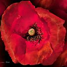 ... a poppy and Photoshop...   by John44