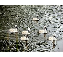 Beautiful Cygnets Photographic Print