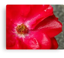 Soaked Rose Canvas Print