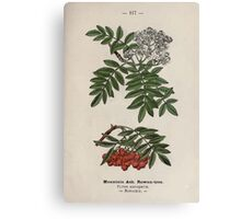 Wayside and woodland blossoms a pocket guide to British wild flowers for the country rambler  by Edward Step 1895 117 Mountain Ash Rowan Tree Canvas Print