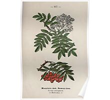 Wayside and woodland blossoms a pocket guide to British wild flowers for the country rambler  by Edward Step 1895 117 Mountain Ash Rowan Tree Poster