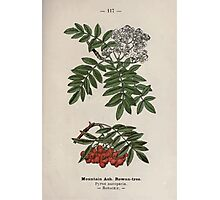 Wayside and woodland blossoms a pocket guide to British wild flowers for the country rambler  by Edward Step 1895 117 Mountain Ash Rowan Tree Photographic Print