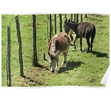 Mules Beside a Fence Poster