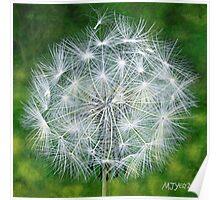 Dandelion Seedhead Poster