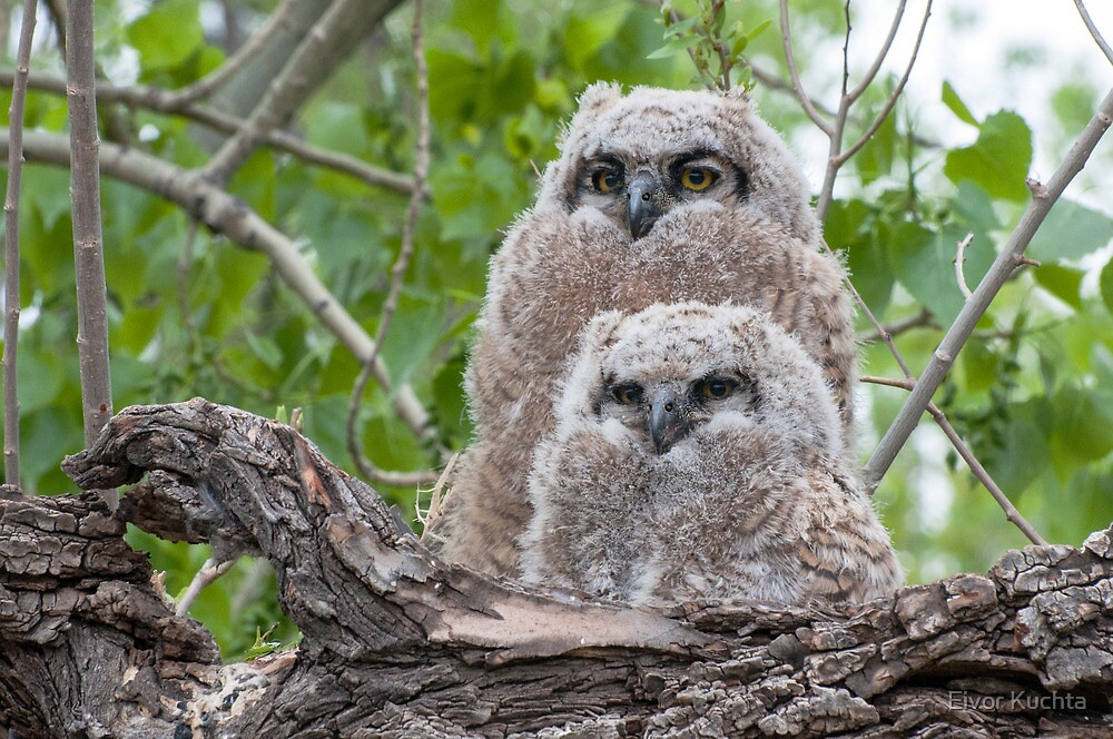 Owl siblings by Eivor Kuchta