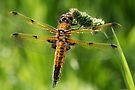 Four-spotted Chaser by Neil Bygrave (NATURELENS)