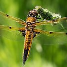 Four-spotted Chaser by Neil Bygrave (NATURELENS)