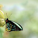 Birdwing Poser by Jenny Dean