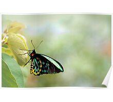Birdwing Poser Poster
