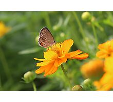 Butterfly on yellow cosmos flower Photographic Print