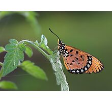 Common tiger butterfly Photographic Print
