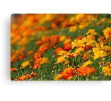 Yellow and orange cosmos flowers Canvas Print
