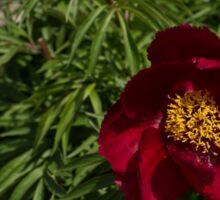 Deep Red Peony Garden Sticker
