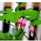 Bleeding Heart by NatureGreeting Cards ©ccwri