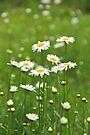 Shasta Daisies by NatureGreeting Cards ©ccwri