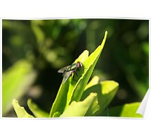 Fly on a Green Leaf Poster