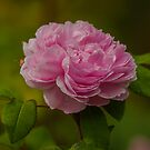 Is a Rose is a by Cathy  Walker