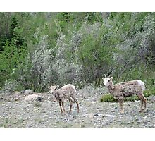 Goats, Jasper National Park, Canada Photographic Print