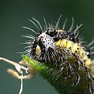 Hairy Caterpillar by Stuart Hogton