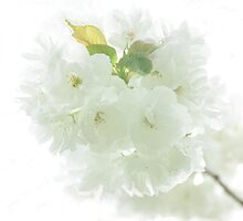 Happy Mother's Day...Kwanzaa White Cherry Blossoms by Poete100