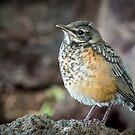 Immature American Robin by Kathleen  Bowman