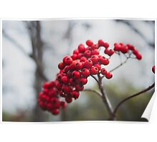 Dolly Sods Foliage  Poster