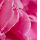 pink roses by flashcompact