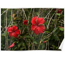 Chaotic Disarray of Red Hibiscus Flowers Poster