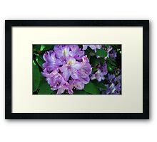 Purple Azaleas Framed Print
