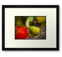 One Green Tomato Framed Print
