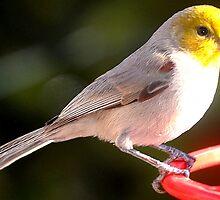 YELLOW HEADED WARBLER ON HUMMINGBIRD PERCH by JAYMILO