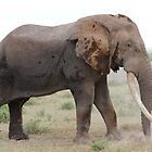 African Bush Elephant by Kirk Arts