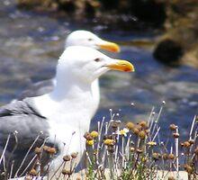 Herring Gulls ~ La Jolla, California by Marie Sharp