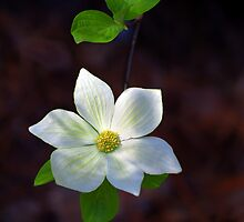 Yosemite Dogwood by Floyd Hopper