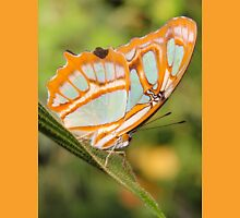 Malachite Butterfly (Siproeta stelenes) Womens Fitted T-Shirt