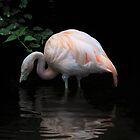 Flamingo's reflection.... by Poete100