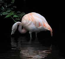 Flamingo's reflection.... by Poete100
