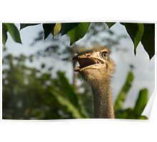A Portrait Of An Opinionated Ostrich  Poster
