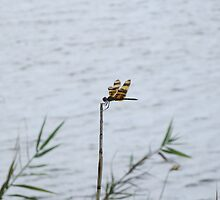 Dragonfly on the Lake by edlineuser