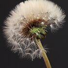 Dandelion  by BenClarkImagery