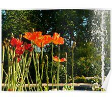 Orange Poppies Poster