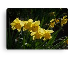 Sunny, Windy Spring Garden with Daffodils Canvas Print