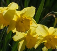 Sunny, Windy Spring Garden with Daffodils Sticker